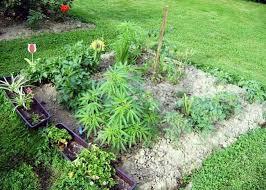 cannabis-companion-planting.jpeg