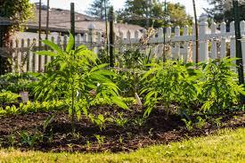 companion-planting-cannabis.jpeg