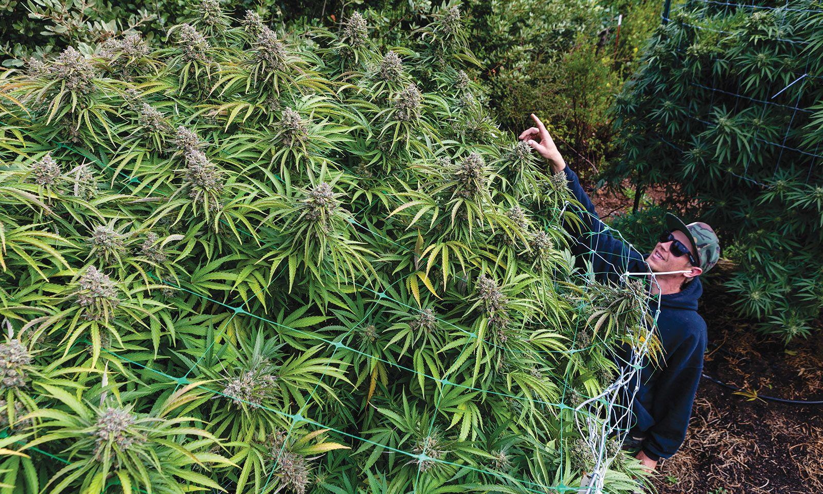 large-outdoor-cannabis-plants.jpg