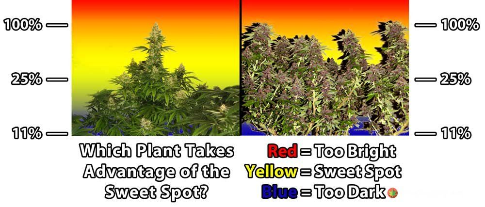 natural-vs-lst-cannabis-sweet-spot-lighting-distance.jpg