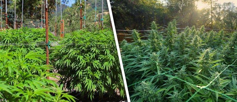 outdoor-cannabis-grow-guide.jpg