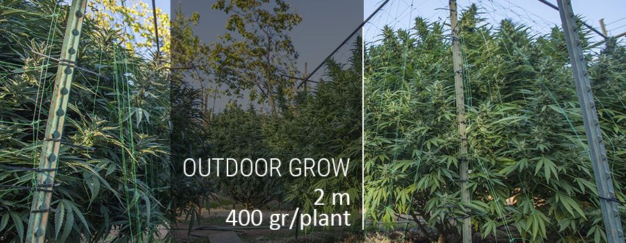 outdoor-grow-picture-cannabis-high-yield.jpg