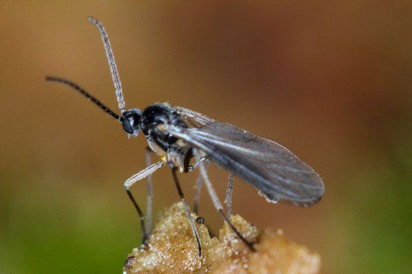 pest-fungus-gnat.jpg