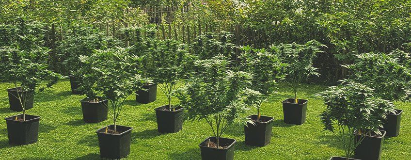 sustainable-cannabis-growing-guide.jpg
